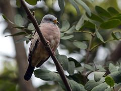 IMG_6895 Croaking Ground Dove (suebmtl) Tags: peru croakinggrounddove columbinacruziana trujillobotanicalgardens