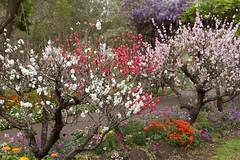 Blooming (Val in Sydney) Tags: wisteria festival parramatta nsw australia australie flower fleur
