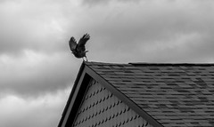 As The Crow Flies (Catskills Photography) Tags: odc fly crow bird animal roof blackandwhite clouds canons95