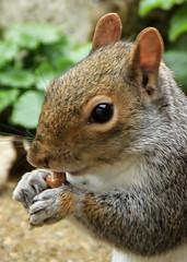 Pickle (Jicardee29) Tags: squirrel garden peanut eating