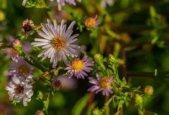 Flowers, botanic garden, Denver (pmenge) Tags: denver botanicgarden flores flowers 18135 xt1