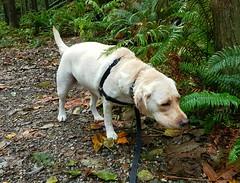 Gracie with nose to ground (walneylad) Tags: gracie dog canine pet puppy lab labrador labradorretriever cute october fall autumn
