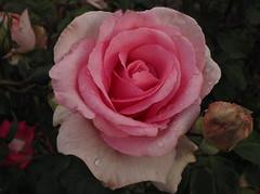 "Rosa ""Sweet Parole"" (tgrauros) Tags: göteborg gothenburg konungariketsverige roserar roses suècia sverige sweden sweetparole trädgårdsföreningen gardensocietyofgothenburg rosas pink"