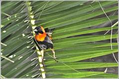 Pajaro anaranjado con negro (j3nni14) Tags: pajaro naranja negro palmeras verde detalle sudafrica