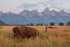 Bison and Tetons (Jeffrey Sullivan) Tags: grand teton national park grandtetonnationalpark landscape nature travel photography wyoming unitedstates roadtrip usa canon photo copyright 2008 jeffsullivan august buffalo bison wildlife mountains