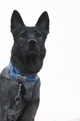 20161113-DSC_0976 (Kaiguin17) Tags: german shepherd dog silver sable east czech post apocolypse protector working bitch oswin run clever girl black white