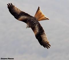 Nibbio Reale (gius_mar2014) Tags: nibbioreale rapaci eagle nibbio olympus zuiko 300mmf4ispro zuiko300mm mzuiko 300 mm f4