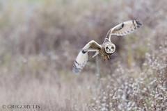 Short-eared Owl (Gregory Lis) Tags: shortearedowl asioflammeus richmond britishcolumbia gorylis gregorylis nikond810 owl