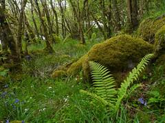 Ballachuan Hazelwood SWT Reserve, Seil (Niall Corbet) Tags: scotland argyll seil ballachuanhazelwood swt reserve scottishwildlifetrust fern green forest wood woodland hazel corylusavellana