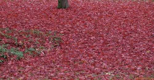 """Red Maple Tree falling foliage • <a style=""""font-size:0.8em;"""" href=""""http://www.flickr.com/photos/52364684@N03/30898093232/"""" target=""""_blank"""">View on Flickr</a>"""