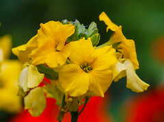Yellow, red and green (Steve-h) Tags: mygarden nature natur natura naturaleza flowers blossoms wallflowers nasturtiums pretty colours colour yellow gold green red wet buds stems stalks dublin ireland europe europa autumn fall october 2016 digital exposure canon camera lens ef eos steveh