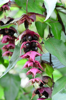 Flowering Nutmeg Leycesteria formosa