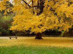 Ginkgo 3 (alainpere407) Tags: alainpere parcdemontsouris ginkgobiloba parisinsolite paris tree arbre automne autumn fall vividstriking flicktravelaward laquintaessenza