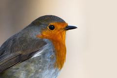 A close look at the robin (FocusPocus Photography) Tags: rotkehlchen robin erithacusrubecula vogel bird tier animal wildtier wildlife monrepos ludwigsburg