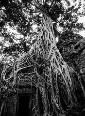 Strands (Arbron) Tags: cambodia taprohm asia2015 rajavihara siemreap temple   krongsiemreap kh