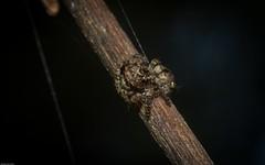 Servaea sp. (dustaway) Tags: arthropoda arachnida araneae araneomorphae salticidae euophryinae servaea jumpingspiders australianspiders lismore northernrivers nsw nature australia rprr rotarypark rainforest