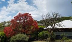 Lismore (dustaway) Tags: malvaceae brachychitonacerifolius flamekurrajong redflowers australiantrees house garden lismore northernrivers nsw australia spring australianrainforesttrees