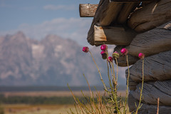 Thistles and Cabin (Jeffrey Sullivan) Tags: grand teton national park landscape nature travel photography wyoming united states canon photo copyright jeff sullivan usa thistle flowers plants cabin grandtetonnationalpark