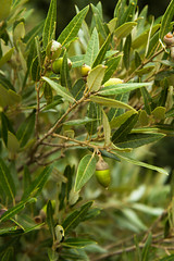 Holm oak (jan.stefka) Tags: canoneos7d parconaturaleregionaledimontearci guercusilex sardiniesardegna italie italy dubcesmnovit 2016 holmoak