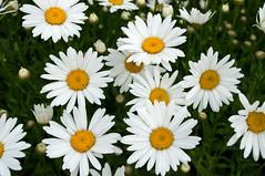 Shasta Daisies 1 (menegue) Tags: white flower green yellow daisies washington spokane bokeh 32 manitopark ratio32 shastadaisie