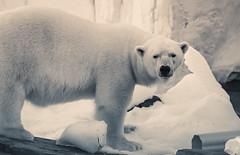 Polar Bear Gaze (Bartfett) Tags: world ocean bear sea white black cute ice face fur big san north diego pole arctic freeze split polar seaworld tone