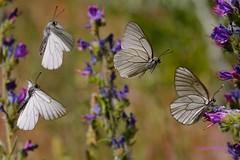 Aporia crataegi ( BlezSP) Tags: white black del blanca espino courtship veined pieridae aporia crataegi majuelo unlimitedinsectslevel1