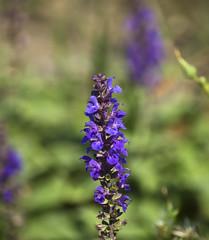 fiorellin (felinabubo) Tags: flowers blue venice mountain flower macro verde green nikon purple blu walk nikkor viola venezia montagna passeggiata fiorellino fiorellini