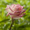 pink and white rose (Anne Davis 773) Tags: pink white flower rose anniversary amazingdetails