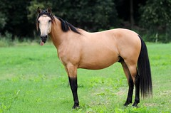 friesian and Andalusian horse (amable) Tags: horses horse tricks fries pre trot canter andalusian buckskin paard paarden llevado friesian valk prance andalusier jauke vrijheidsdressuur tricktraining