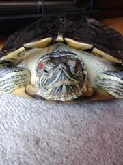 IMG_1819 (arakalada) Tags: turtle   redearturle