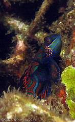 Mandarin Standing proud (Niall Deiraniya Underwater Photography) Tags: red sea fish coral dangerous marine ray seahorse turtle crab shrimp sealife perch octopus mandarin nudibranch anenome manta moray grouper venom pygmy pipefish reasea