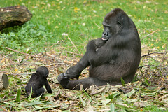 2013-10-26-14h02m54.272P7953 (A.J. Haverkamp) Tags: zoo twins gorilla arnhem thenetherlands burgerszoo dierentuin westernlowlandgorilla westelijkelaaglandgorilla canonef70200mmf28lisusmlens httpwwwburgerszoonl ngayla dob09051993 pobarnhemthenetherlands nkato nhasa dob13062013