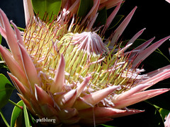 A Protea at Mt Penang gardens North of Sydney (pat.bluey) Tags: new flowers wales south australia 1001nights abigfave flickraward mtpenanggardens proteaceaefamily 1001nightsmagiccity hennysgardens