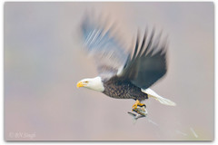 Bald Eagle (BN Singh) Tags: camera winter wild usa sun white fish blur bird nature birds work river lens rising fly flying fishing md nikon long slow eagle head dam united tail flight wing beak bald feather maryland telephoto national talon american shutter precision prey states oakwood nikkor northern visitor panning eastern chesapeake avian rapture susquehanna nesting snatch hooked migrant accuracy haliaeetus leucocephalus snatching conowingo swooping blackishbrown accipitriformes vision:sunset=0636 vision:sky=0622 vision:outdoor=0613