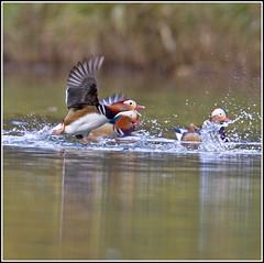 Mandarins (CliveDodd) Tags: duck mandarin drake aixgalericulata