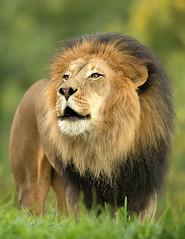Izu_25Q3504 (day1953) Tags: animals canon zoo wildlife lion wap lions endangered wildanimalpark bigcats izu sandiegowildanimalpark lioncamp africanlions oshana sandiegozoosafaripark sandiegosafaripark day1953 canon1dx canon500f4isii