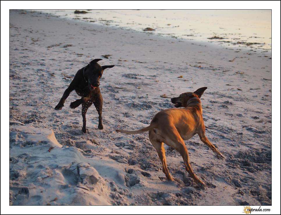 Dogs on Beach - 3