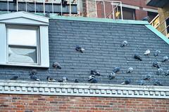Bundled for Winter (WindUpDucks) Tags: street nyc winter newyork rooftop birds animals stone manhattan pigeons stonest