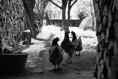afternoon chat... #22 (Vladimir Barvinek) Tags: wood winter snow chicken season chat farm hen project52