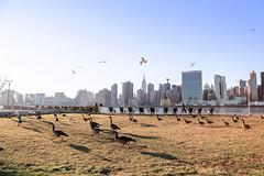 Migration (bionicgirlnyc) Tags: park newyorkcity skyline geese manhattan lawn migration longislandcity migrating