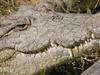 054 (aishe's photography) Tags: africa eye tooth skin head farm teeth crocodile croc afrika auge zambia zähne kopf krokodil lusaka haut zahn zaehne sambia mygearandme mygearandmepremium
