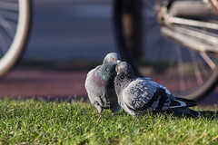 Pigeons' Caress in Amsterdam 1 (Wholesale of Void) Tags: christmas winter urban sunlight holland love netherlands grass amsterdam birds animals rock december dove pigeons tenderness attraction columbalivia 200mm