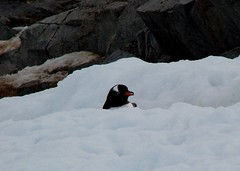 Who put this path here (ericy202) Tags: snow penguin gentoo december path antarctica 2006 wildpenguin