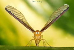 Wing Spread........ (aroon_kalandy) Tags: light india macro beautiful beauty bug eyes asia photographer artistic kerala tamron calicut kozhikode wingspread abigfave aroonkalandy