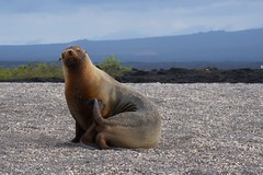 _DSC6578        Galapagos Sea Lion Le    1.9 (ChanHawkins) Tags: sea de area punta april 12 marino fernandina fri espinoza lion leon pm galapagos galapagos shoreline