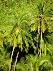 Coconut Grove (Saumil U. Shah) Tags: ocean travel sea sun india tree green tourism beach water palms relax evening sand flickr surf waves grove coconut indian goa tourist palm shore plantation leisure arabian carefree shah arabiansea भारत bogmalo saumil incredibleindia bogmallo saumilshah अतुल्यभारत
