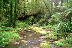 Stream Lily (Helmholtzia glaberrima) at Brindle Creek (Poytr) Tags: worldheritagesite nsw flaxlily worldheritagearea arfp borderrangesnationalpark streamlily helmholtziaglaberrima brindlecreek philydraceae nswrfp helmhotzia subtropicalarf