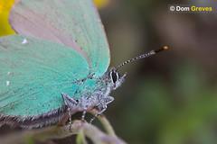 Green Hairstreak (Dom Greves) Tags: uk summer june butterfly insect wildlife surrey grassland invertebrate greenhairstreak callophrysrubi calcareousgrassland