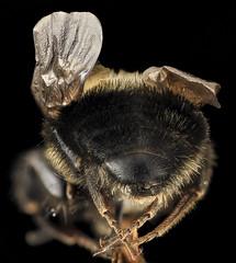 Intersex Bombus bimaculatus, gyn, back, washington, oh_2014-05-07-19.01.18 ZS PMax (Sam Droege) Tags: ohio animal animals bug insect bees insects bugs bee bumblebee marietta bumblebees usgs arthropods animalia arthropoda arthropod bombus hymenoptera insecta pollinator apoidea apidae apinae pollinators bombini aculeata droege mariettacollege intersex gynandromorph bombusbimaculatus anthophila biml malisaspring bilateralasymmetry