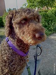 009515 - Sofía (M.Peinado) Tags: copyright dog dogs animal sofía perro perros animales perra bq 2014 perrodeaguas bqaquaris50 04052014 mayode2014